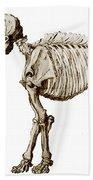 Mastodon Skeleton Beach Towel by Science Source
