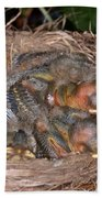 Robin Nestlings Beach Towel