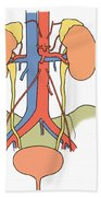 Illustration Of Urinary System Beach Towel by Science Source