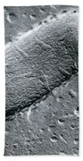 Tuberculosis Bacillum Beach Towel by Science Source