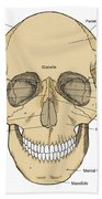 Illustration Of Anterior Skull Beach Towel by Science Source