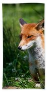 A British Red Fox Beach Towel