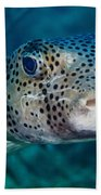 A Large Spotted Pufferfish Beach Towel