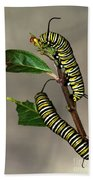 A Pair Of Monarch Caterpillars Beach Towel