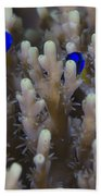 A Pair Of Yellowtail Damselfish Amongst Beach Towel