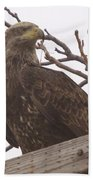 A Young Eagle In The Midst Of Change  Beach Towel