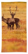Adult Caribou In The Fall Colours Beach Towel