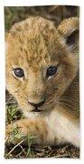 African Lion Panthera Leo Five Week Old Beach Towel
