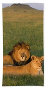 African Lion Panthera Leo Male Beach Towel
