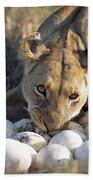 African Lion Panthera Leo Raiding Beach Towel