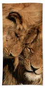African Lion Panthera Leo Two Males, Mt Beach Towel