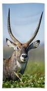 An Antelope Standing Amongst Tall Beach Sheet