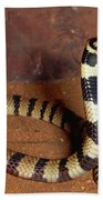 Angolan Coral Snake Defensive Display Beach Towel