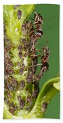 Ant Formicidae Pair Protecting Aphids Beach Towel