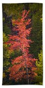 Autumn Scene Of Colorful Red Tree Along The Little Manistee River In Michigan No. 0902 Beach Towel