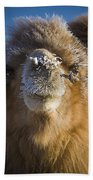 Bactrian Camel Camelus Bactrianus Beach Towel