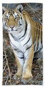 Bengal Tiger In Pench National Park Beach Towel