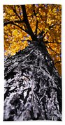 Big Autumn Tree In Fall Park Beach Towel