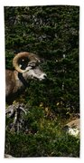 Big Horn Sheep Glacier National Park Beach Towel