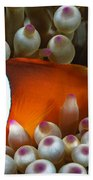 Black Anemonefish, Fiji Beach Towel