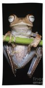 Blue-flanked Tree Frog Beach Towel