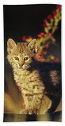 Bobcat Kitten Standing On Log North Beach Towel by Tim Fitzharris