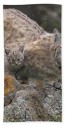 Bobcat Mother And Kitten In Snowfall Beach Towel by Tim Fitzharris
