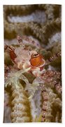 Boxing Crab In Raja Ampat, Indonesia Beach Towel