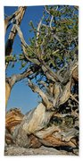 Bristlecone Pine Beach Towel