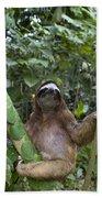 Brown Throated Three Toed Sloth Male Beach Towel