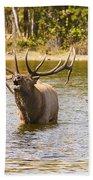 Bugling Bull Elk And Calf Colorado Rut 4 Beach Towel