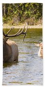 Bugling Bull Elk And Calf Colorado Rut 5 Beach Towel