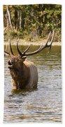 Bugling Bull Elk And Calf Colorado Rut  Beach Towel