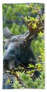 Bull Moose At Dusk Beach Towel