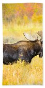 Bull Moose In Autumn Beach Towel