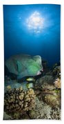 Bumphead Parrotfish, Australia Beach Towel