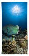 Bumphead Parrotfish, Australia Beach Towel