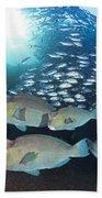 Bumphead Parrotfish Beach Towel