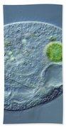 Bursaridium Sp Beach Towel by M. I. Walker