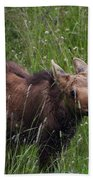 Calf Feeding Beach Towel