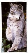 Canada Lynx With Paw Up   Beach Towel