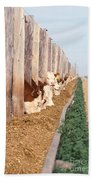 Cattle Feeding Beach Towel