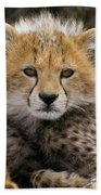 Cheetah Acinonyx Jubatus Ten To Twelve Beach Towel