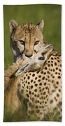 Cheetah Acinonyx Jubatus With Its Kill Beach Sheet