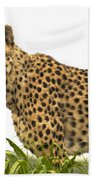 Cheetah Hunting Beach Towel