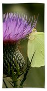 Cloudless Sulfur Butterfly On Bull Thistle Wildflower Beach Towel
