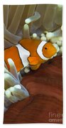 Clown Anemonefish In Anemone, Great Beach Towel