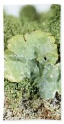 Common Greenshield Lichen Beach Towel by Ted Kinsman