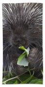 Common Porcupine Erethizon Dorsatum Beach Towel