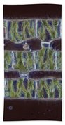 Conjugation In Spirogyra Algae Lm Beach Towel